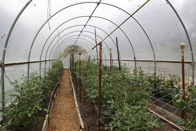 Glorious tomatoes grow in the hoop house. (Photo: Paul, San Francisco Chronicle)