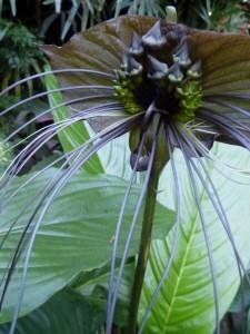 Governor's Residence Bat Flower