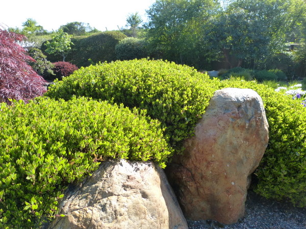 Sheared manzanita blankets a boulder. (Photo: Yvonne Michie Horn)
