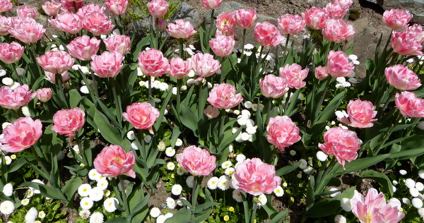 Tulips galore fill The Gardens beds in springtime splendor. (All photos: Yvonne Michie Horn)