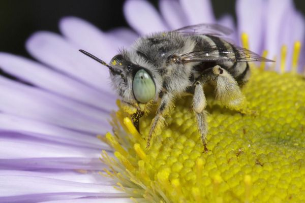 A female Anthophora curta Provancher bee, one of 1,600 wild species native to California.