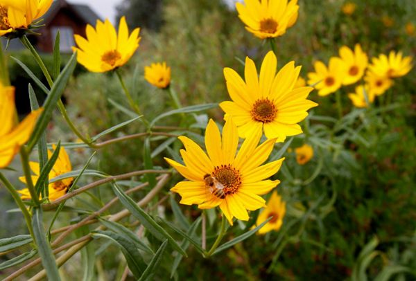 Sunflowers add color and attract plenty of helpful insects and local bees.