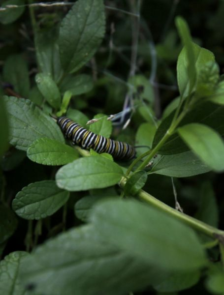 A monarch caterpillar perches in a shady spot in Kate Frey's four-season garden.