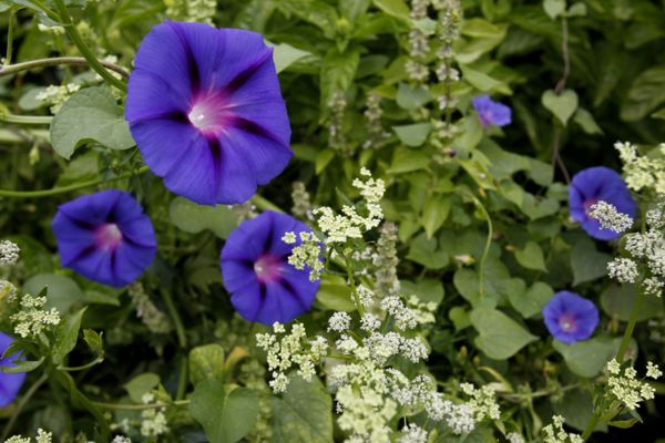 Morning glories, basil and flowering celery make for a lovely contrast in the garden of landscape designer Kate Frey.