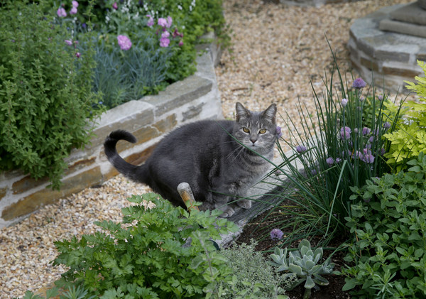 The Eglin family cat makes a stop at the herb garden Mondy May 4, 2015. Accomplished mystery writer Anthony Eglin, whose books often revolve around roses, has built a beautiful garden on his Sonoma, Calif.