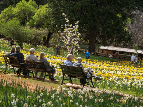 Daffodil Hill Amador County California