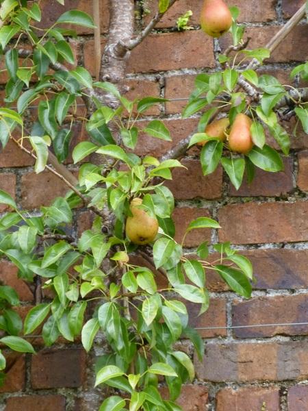 Pears growing on brick wall, Victorian walled garden Kylemore, Ireland ears